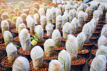 Old Man Cactus Mini In Pots In The Garden Nursery Cactus Farm Agriculture Greenhouse