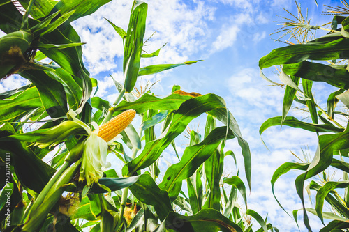 Obraz Corn cob growth in agriculture field outdoor with clouds and blue sky - fototapety do salonu