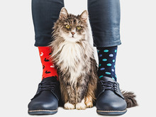 Charming Kitten, Office Manager, Stylish Shoes, Blue Pants And Bright, Colorful Socks On A White, Isolated Background. Close-up. Lifestyle, Fashion, Elegance