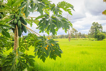 Organic Raw Green Papaya Abundantly On The Tree. Young Green Papaya Fruits Plentifully On Treetop. Plantation And Productivity Concept.