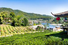 Beautiful Scenery Chinese Village Among Tea Field, Mae Hong Son In Thailand