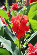 Fleur De Canna Rouge Dans Le Jardin