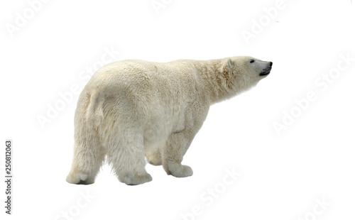 Poster Polar bear Funny Polar bear (Ursus maritimus) on white background