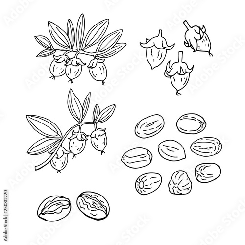 Valokuva  Linear set of jojoba. Vector line drawing