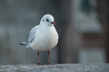 Portrait Of Seagull Standing O...