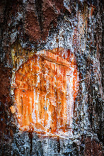 Amber Pine Resin Natural / Extraction Turpentine Form Trunk And Bark Tree In The Nature Pine Forest