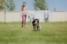 Border Collie Dog Catches A Fl...