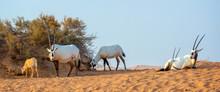 Herd Of Arabian Oryx, Also Called White Oryx (Oryx Leucoryx) In The Desert Near Dubai, United Arab Emirates