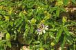 canvas print picture - Passionsblume (Passiflora caerulea)