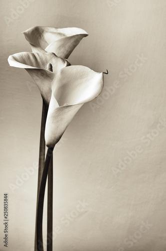 Calla lilies Canvas-taulu