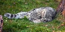 Sleeping Snow Leopard. Latin Name - Uncia Uncia