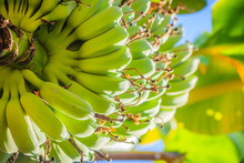 Organic Young Green Banana Fruits On Tree With Sunshine In The Sunny Day. Bunch Of Fresh Raw Young Green Banana Fruit On Tree In The Orchard.