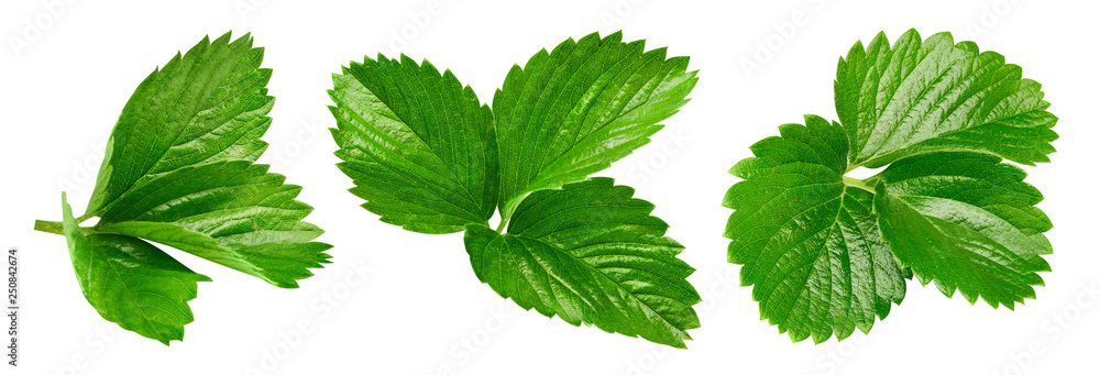 Fototapety, obrazy: Strawberry leaves Clipping Path