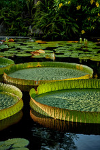 The Giant Water Lily In The Asian Park