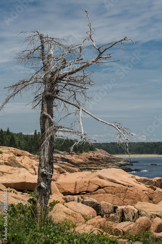 dried tree on the shore of Acadia National Park, USA Canvas Print