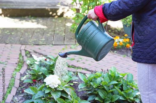 Fototapeta Hand of senior woman is watering flowers in her garden, gardening at home. Retired female cares of plants. Senior woman hands watering some flowers at her garden. obraz na płótnie