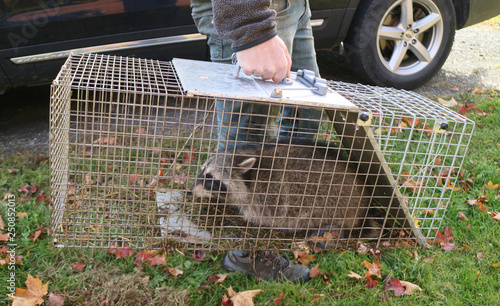 Fotografia, Obraz A raccoon caught in a cage in a garden and ready to be re-released into the wild