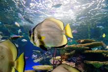 A Batfish (Platax Pinnatus) In...