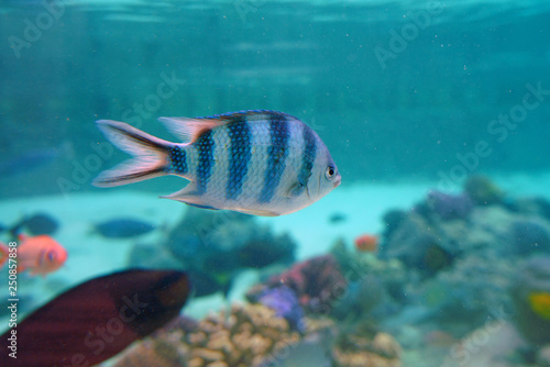 Fototapety, obrazy: Underwater view of colorful tropical fish and coral reef in the Bora Bora lagoon, French Polynesia