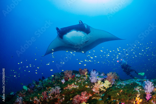 Fotografie, Obraz Huge Oceanic Manta Ray (Manta birostris) over a colorful tropical coral reef wit