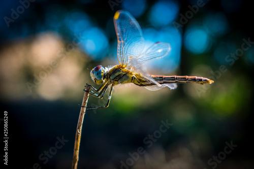 Photo Dragon fly Hamelín