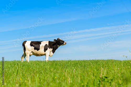 Photographie cows graze on a green field in sunny weather, layout with space for text