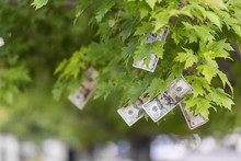Money Growing On Tree, USA Cur...