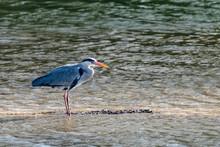 Grey Heron (ardea Cinerea) Standing In Shallow Lake Water