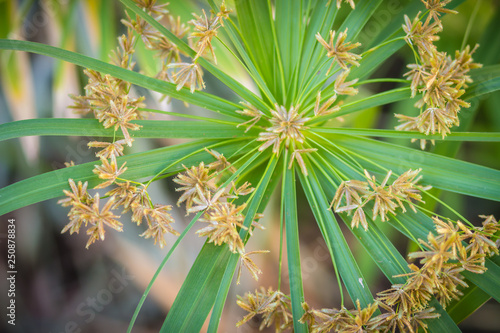 Fototapeta Green grass flowers of Cyperus involucratus (umbrella plant), also known as papyrus sedges, flatsedges, nutsedges, umbrella-sedges and galingales