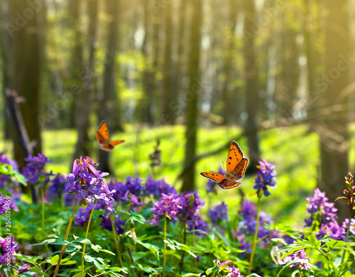 Cadres-photo bureau Papillon Orange butterfly with black dots scarce copper ( Lycaena virgaureae ) over flowers Corydalis (Greek korydalís, crested lark) in sun light in spring forest
