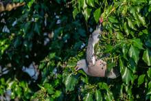 Wood Pigeon Wild Bird ( Columba Livia) Hanging Upside Down Eating Winter Berries From Everygreen Tree