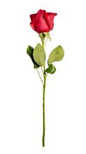 Single Rose Isolated On White Background