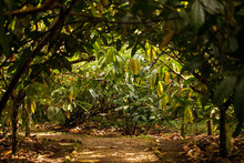 A View Of Cacao Plantation In Costa Rica