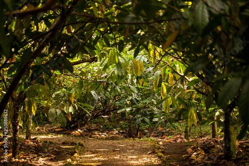 Fotografia A view of cacao plantation in Costa Rica