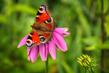 Colorful Butterfly On Pink Blo...