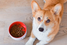 Red Welsh Corgi Pembroke Dog Next To The Dog Bowl Full Of Dog Dry Food, Kibble Formula, Looking Hungry And Like Begging For Food