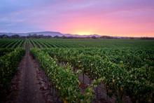 Sunrise Over A Pinot Noir Vineyard