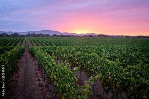 Obraz Sunrise over a Pinot Noir Vineyard - fototapety do salonu