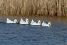 Four White Pekin Ducks In A Ro...
