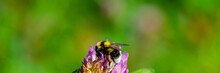 Bumblebee Collects Nectar And ...
