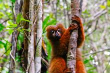 Red-bellied Lemur (Eulemur Rub...