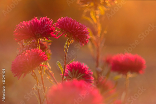 Beautiful aster flowers in golden sunlight Wallpaper Mural