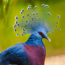 Portrait Of A Beautiful Victoria Crowned Pigeon