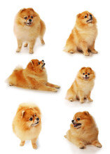 Set Of Pomeranian Dogs Isolated On A White Background