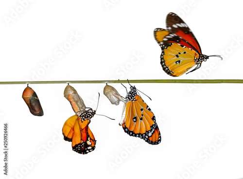 Recess Fitting Butterfly A farm for butterflies, pupae and cocoons are suspended. Concept transformation of Butterfly