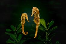 Seahorses Couple In Aquarium