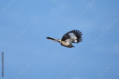 Canvas Print Northern mockingbird in flight with blue sky