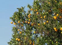Orange  Full Of Ripe Juicy Fruits