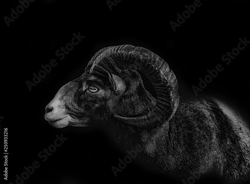 Tablou Canvas close up ram isolated on black background