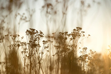 Silhouetted Tall Wild Flowers, Soft Yellow Tones